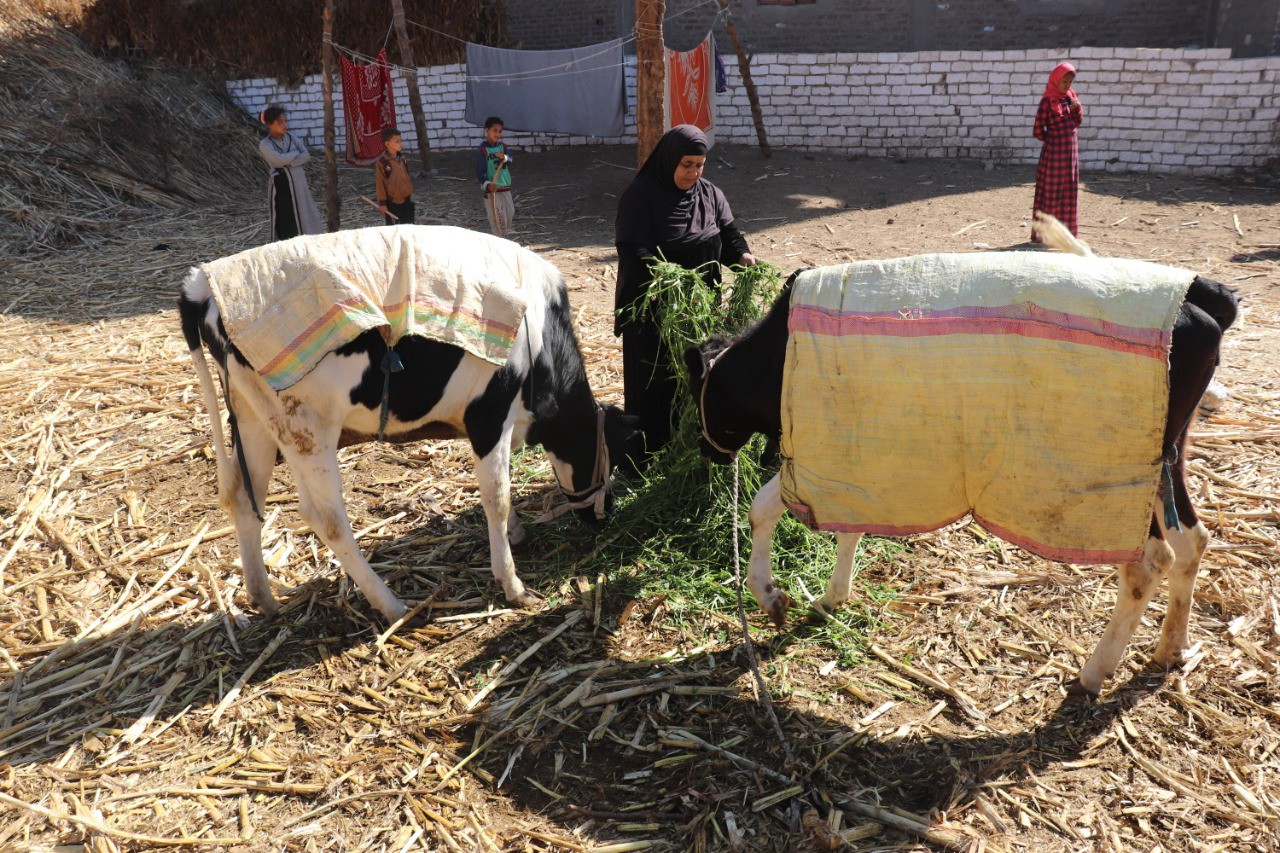 Jamila, a participant in the Bab Amal Graduation program, tends to her livestock which serve as her main livelihood in Al-Jaridat, Sohag.